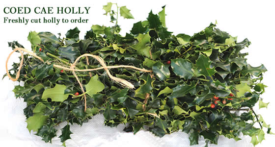 Freshly cut bundles of holly . Wholesale or retail quantities available
